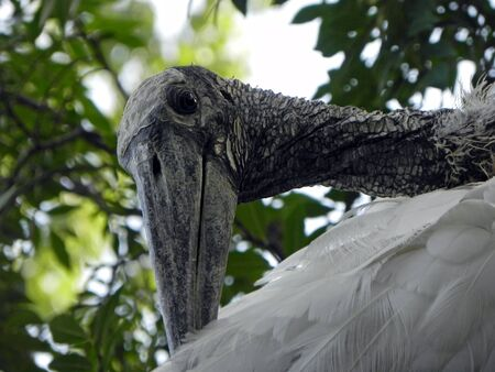 Wood stork resting in a tree