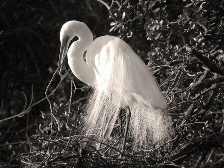 Great egret building nest in Florida marsh