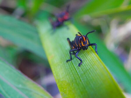 Young lubber grasshoppers climbing a plant Stock Photo