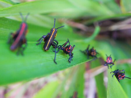 Young lubber grasshoppers climbing a plant Stock Photo - 145006332