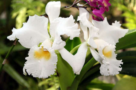 A pair of white orchids with yellow centers