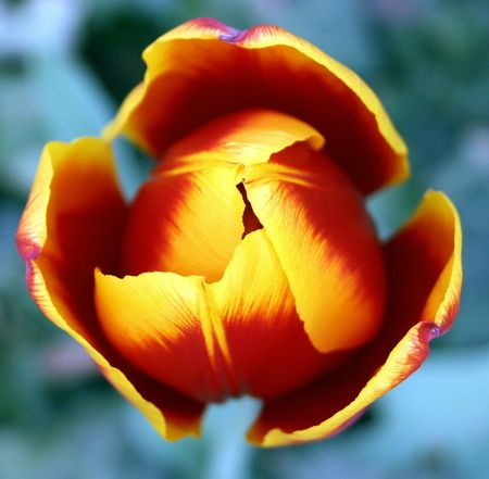 emergence: Blooming Tulip Stock Photo