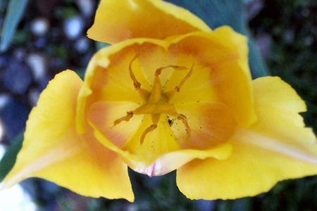 咲くチューリップ