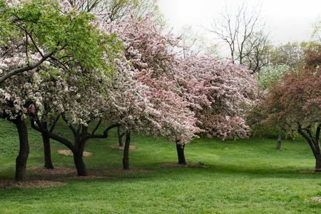 Blooming Spring Trees in New York City