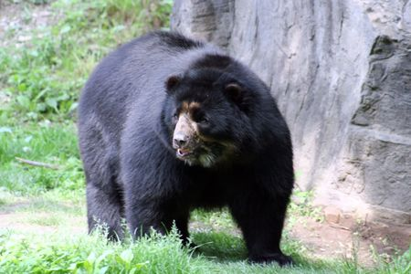 spectacled: Spectacled Bear