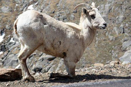 mountain goat photo