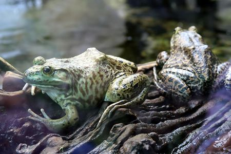 dampness: Pair of Frogs
