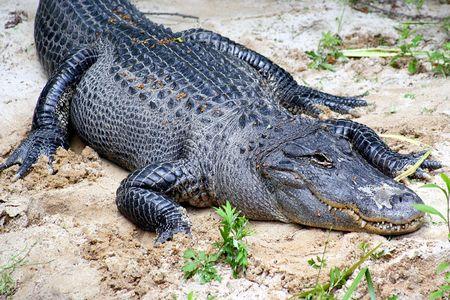 voracious: crocodile Stock Photo