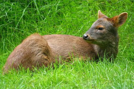 Pudu Deer Stock Photo - 428165