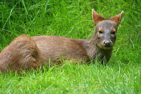 Pudu Deer Stock Photo - 428164
