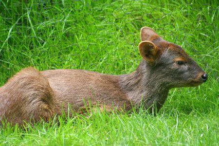 Pudu Deer Stock Photo - 428161