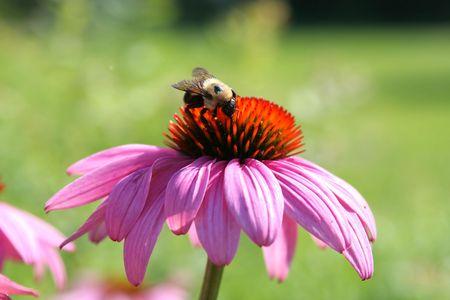 bumble-bee Stock Photo