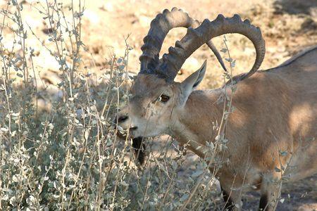 Gazelle of the Desert Stock Photo - 516744