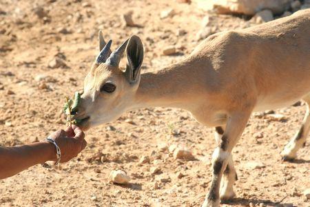 Gazelle of the Desert Stock Photo - 516765