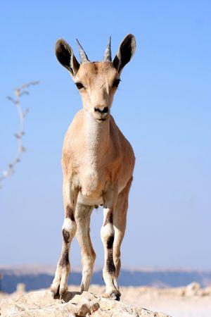 Gazelle of the Desert Stock Photo - 516750