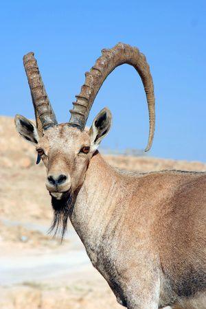 Gazelle of the Desert Stock Photo - 516675