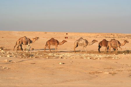 Camels Stock Photo - 516742