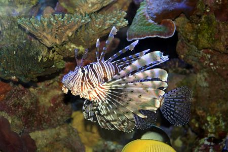 spiky: Lion Fish in the Red Sea, Israel Stock Photo