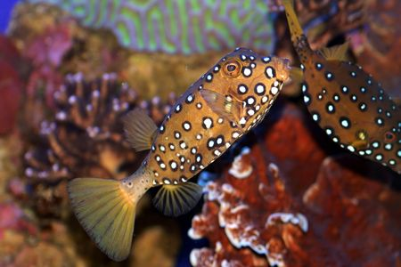 fishtank: A Coral fish in the Red Sea Stock Photo