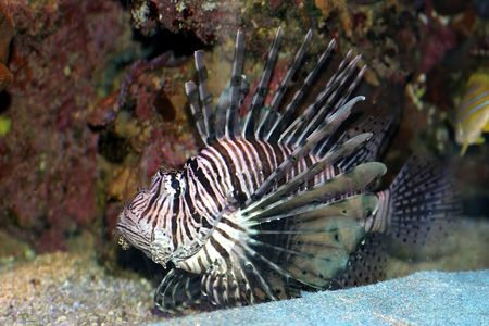 Lion Fish in the Red Sea, Israel Stock Photo