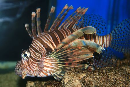 Lion Fish in the Red Sea, Israel Imagens