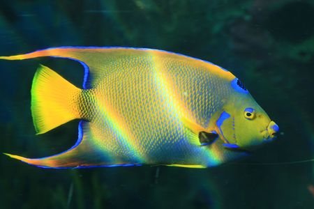 A Coral fish in the Red Sea, Israel    Stock Photo