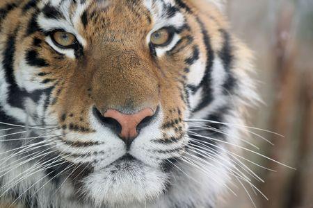 Tiger  Banque d'images - 2635305