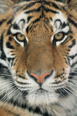 leopard cat: Face closeup of Siberian tiger portrait