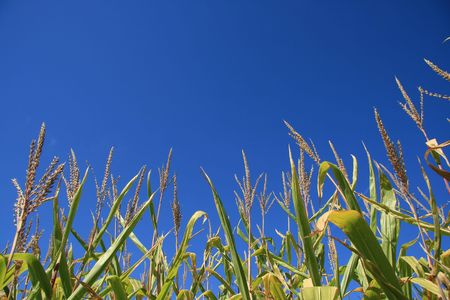 Corn field on a clear Blue day