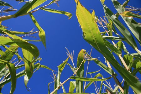 Corn field on a clear Blue day Stock Photo - 3769096