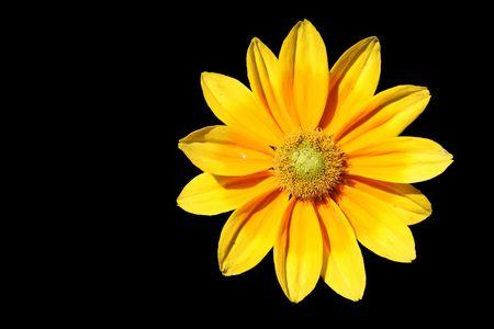 검은 색에 고립 된 노란 꽃