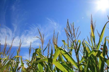 champ de mais: Blooming dans le domaine sur un ciel bleu d'�t�