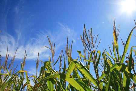 cornfield: Blooming in the field on a clear Blue Summer Sky