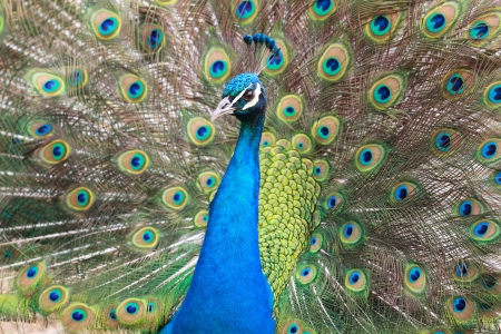 peacock eye: Colorful Male peacock