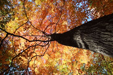 colorful maple trees: Fall Colors in the Forest