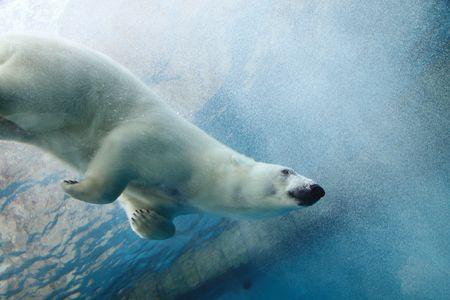 Onderwater foto van een ijs beer  Stockfoto