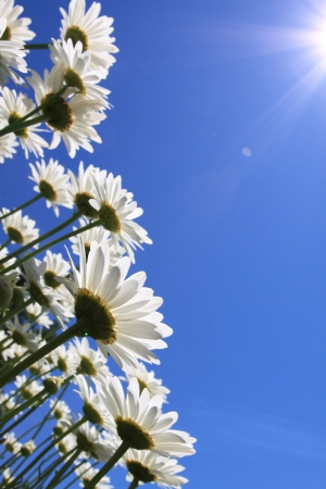 夏の花 (ヒナギク) と青空の背景 写真素材