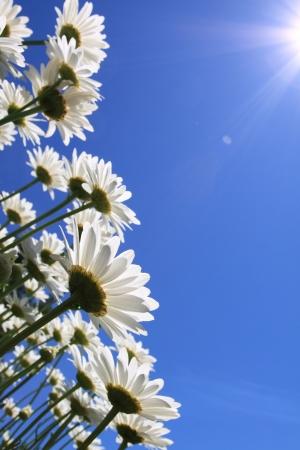 campo de margaritas: Flores de verano (margaritas) y el fondo de cielo azul