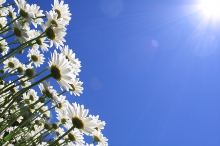 verano: Flores de verano (margaritas) y el fondo de cielo azul