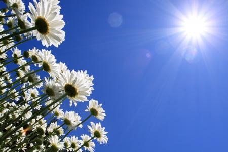 Fleurs d'�t� (marguerites) et fond de ciel bleu LANG_EVOIMAGES