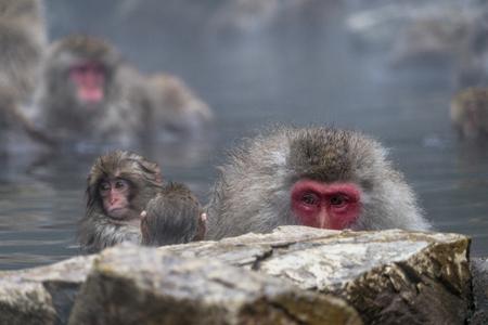 Monkeys enjoying the onsen at Jigokudani Monkey Park - Nagano Prefecture 免版税图像