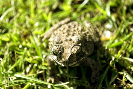 great plains: this frog is uniquely bigger from any other frogs Stock Photo