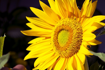 giant sunflower: giant sunflower pointing the position of the sun