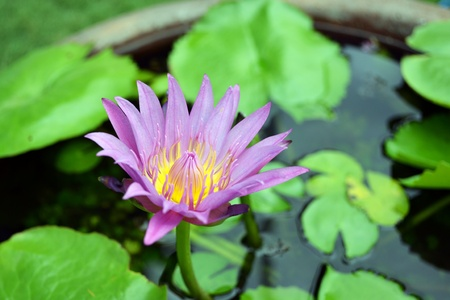 nymphaea odorata: a very calming waterlily flower (Nymphaea odorata)