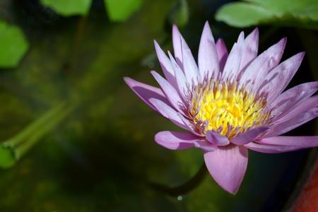 nymphaea odorata: a very calming voilet waterlily (Nymphaea odorata)