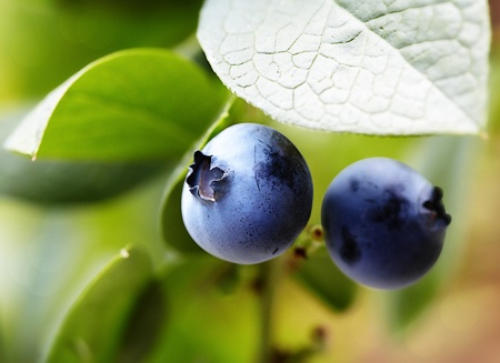 Highbush Blueberries On Bush, Chemopreventive Phytochemicals Resveratrol, Pterostilbene, Anthocyanins, Proanthocyanidins Prevent Inflammation & Cancer