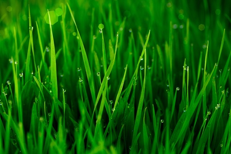 Green Grass With Early Morning Dew Drops ~ Bokeh In Background photo