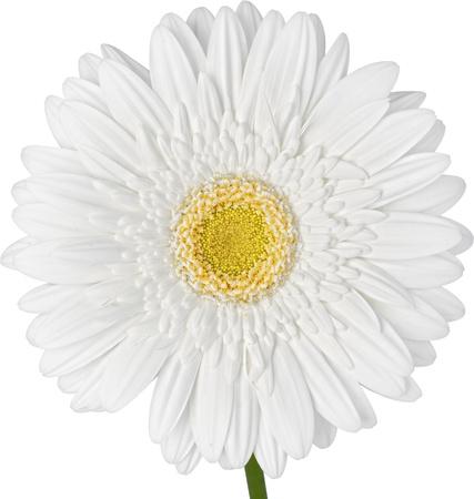 Bianco Gerbra Daisy isolato su sfondo bianco ~ Tracciato di ritaglio Inclueded