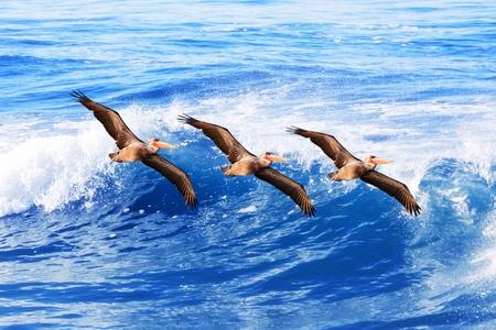 pelicans: Three California brown pelicans in flight over pacific ocean waves ~  Sea Birds Pelecanus occidentalis
