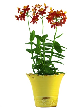 houseplant: Red Epidendrum Orchid In A Bright Yellow Pot ~ Isolated On Pure White Background Stock Photo